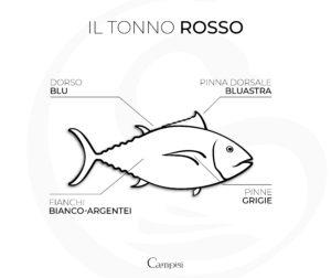 anatomia del tonno rosso