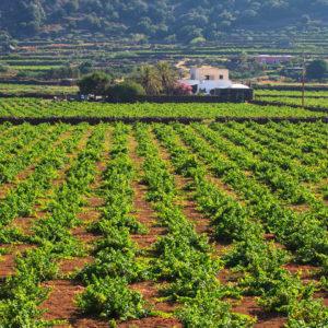 vitigno zibibbo alberello pantesco